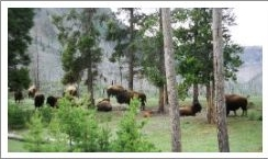 Born to a Yellowstone Herd